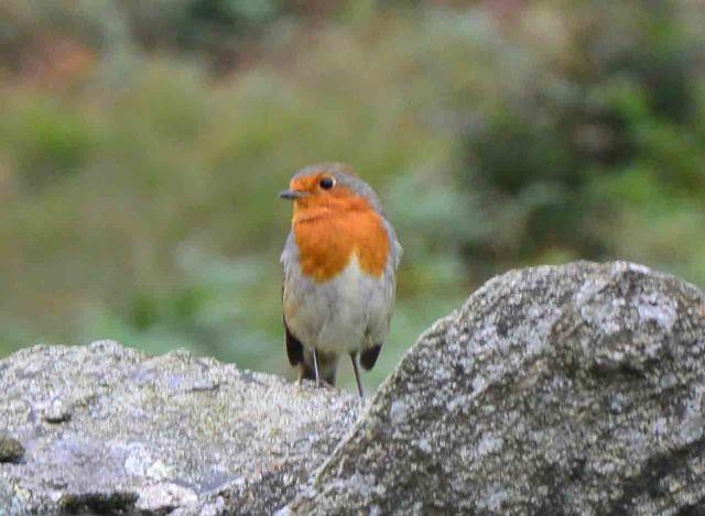 English Robin (?)