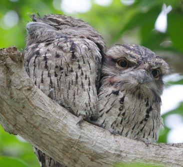 Tawny Frogmouths (M&F)
