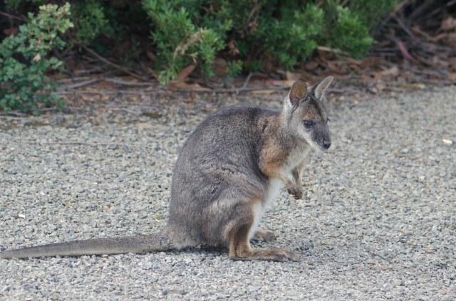 Tamar Wallaby