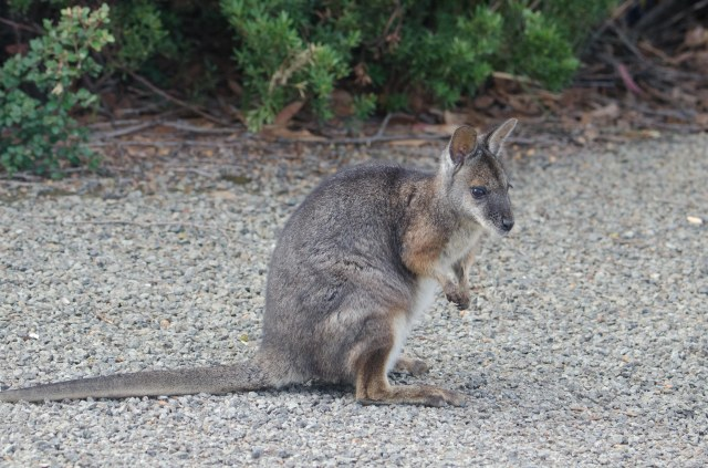 Tamar Wallaby