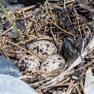 Spotted Sandpiper Eggs
